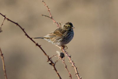 Savannah Sparrow, photo credit: Evelyn Ralston